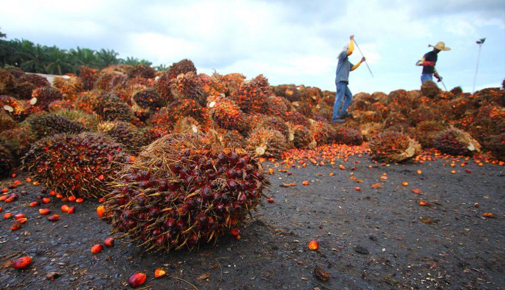סכנות בשמן דקלים - הארגון לחקלאות אורגנית