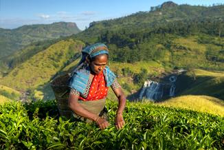 חקלאית במטע תה - סרי לנקה
